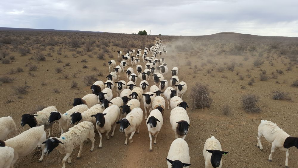 Ewes in their natural habitat