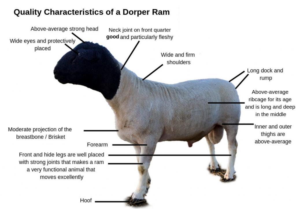 Characteristics of a quality Dorper